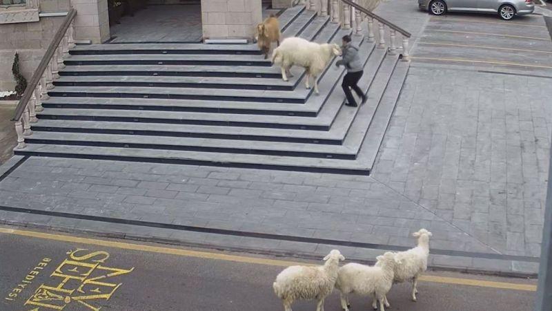 Nevşehir Belediyesine girmeye çalışan küçükbaş sürüsü ilginç görüntü oluşturdu