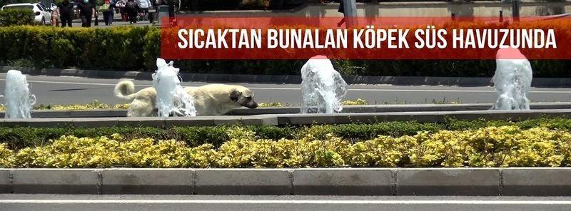 Nevşehir'de Sıcaktan Bunalan Köpek Soluğu Süs Havuzunda Aldı!