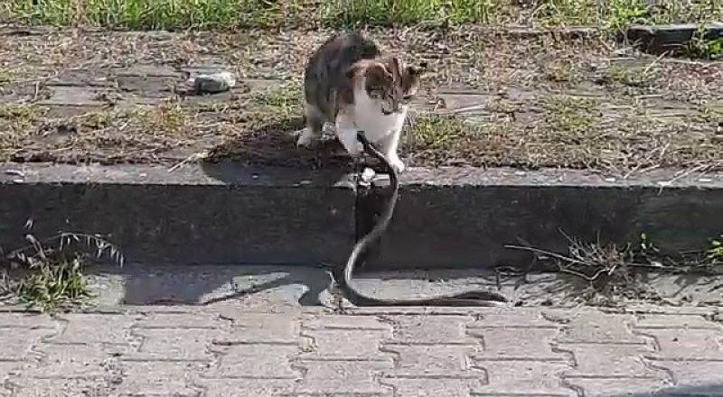 Kediyle Yılan Kavga Ederse Sizce Kim Kazanır?