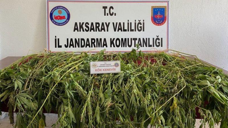 Komşu İl Aksaray'da 225 Kök Kenevir Bitkisi Ele Geçirildi