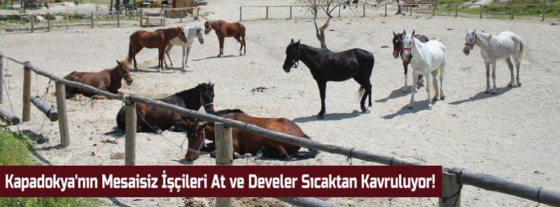 Kapadokya'nın Mesaisiz İşçileri At ve Develer Sıcaktan Kavruluyor!