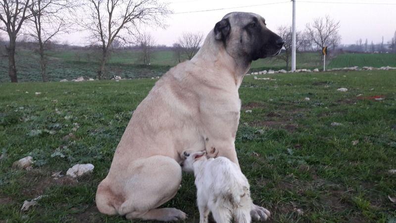 Keçiye annelik eden bir köpek