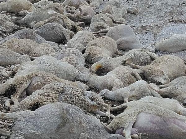 58 koyun böyle telef oldu