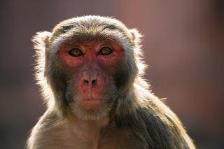 Çin'den yeni bir mikrop daha... Monkey B