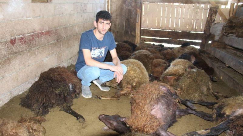 Kurt dehşeti: 40 koyunu telef etti, 6 koyunu yaraladı