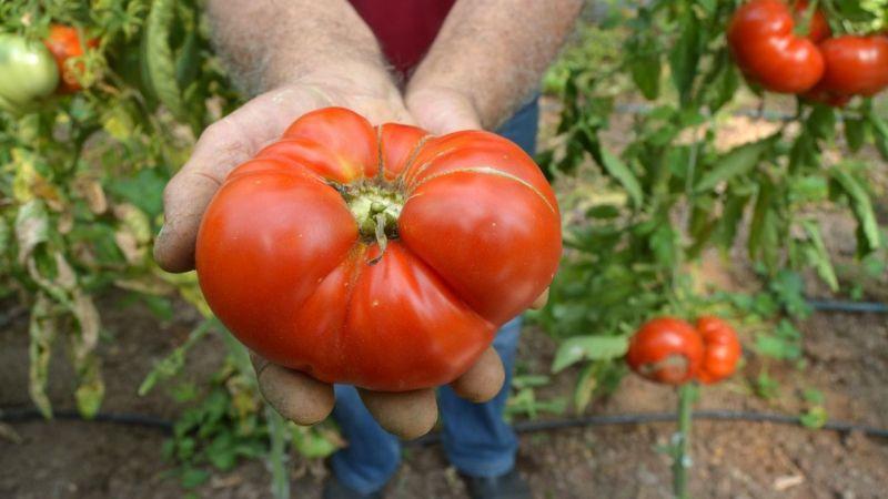Ata tohumundan kiloluk domates