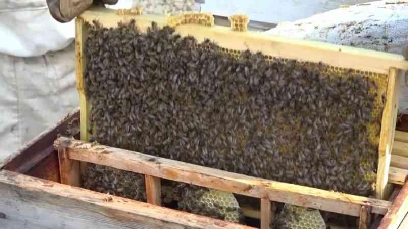 Bal arıları kış uykusuna yatırılıyor