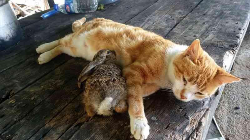 Osmaniye'de bir ev kedisi tavşan yavrusuna annelik yapıyor