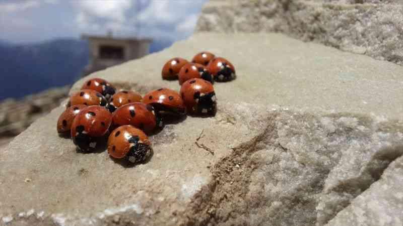 Uğur böceklerini görmek için dağa çıkıyorlar