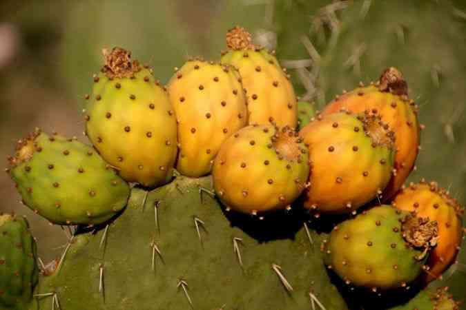"""Mersin'de """"dikenli incir""""in zahmetli hasat süreci başladı"""