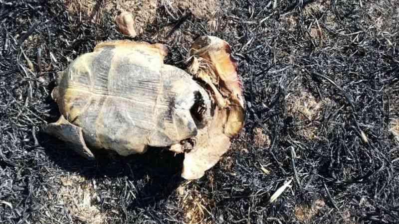 Ateşe verilen tarlalarda kaplumbağalar da yanarak can verdi