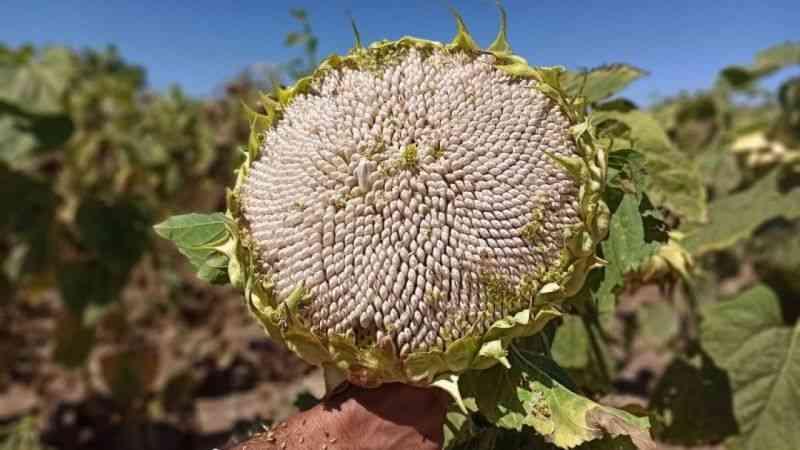 Elbistan'da çerezlik ay çekirdeği hasadı buruk başladı