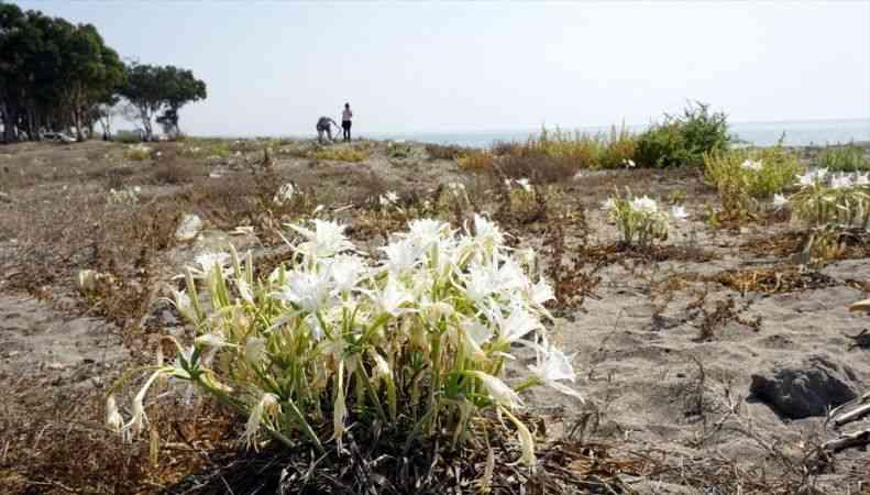 """Mersin'de """"sahillerin incisi"""" kum zambakları özenle korunuyor"""