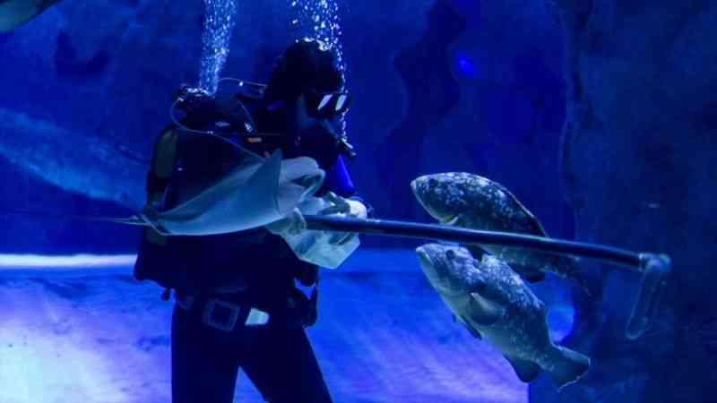Akvaryum dalgıçları ekmek parasını köpek balıklarını besleyerek kazanıyor