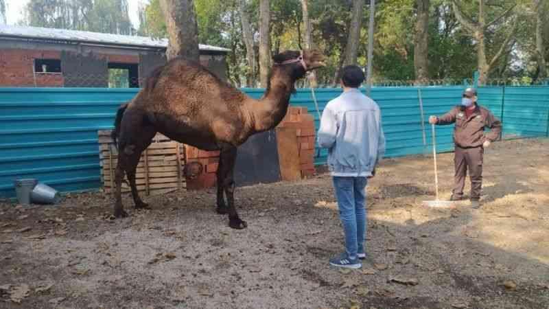 """Bursa'da bir """"Garip"""" deve hikayesi"""