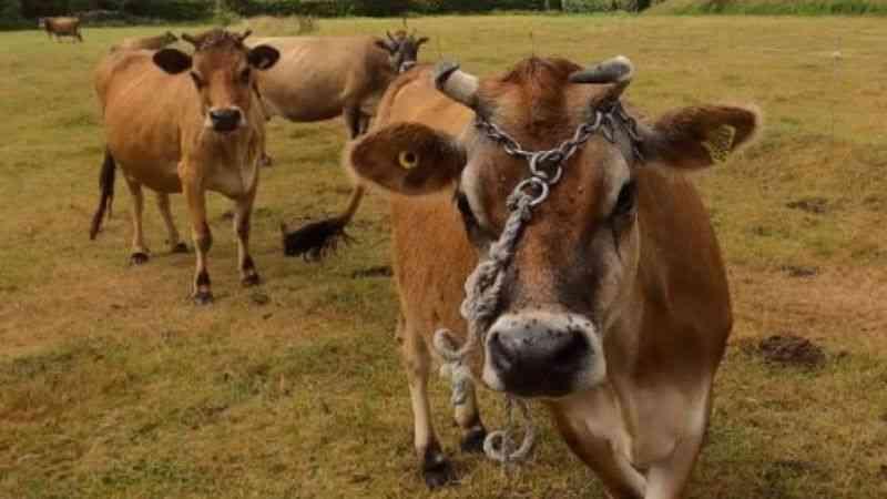 Tarım işletmeleri İngiliz boğası spermi alacak