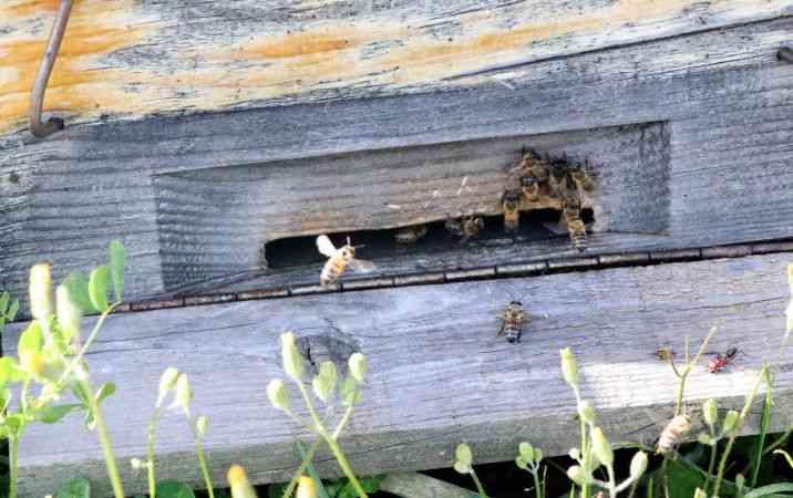 Arıların azalması, elma, kiraz ve yaban mersinini vurdu