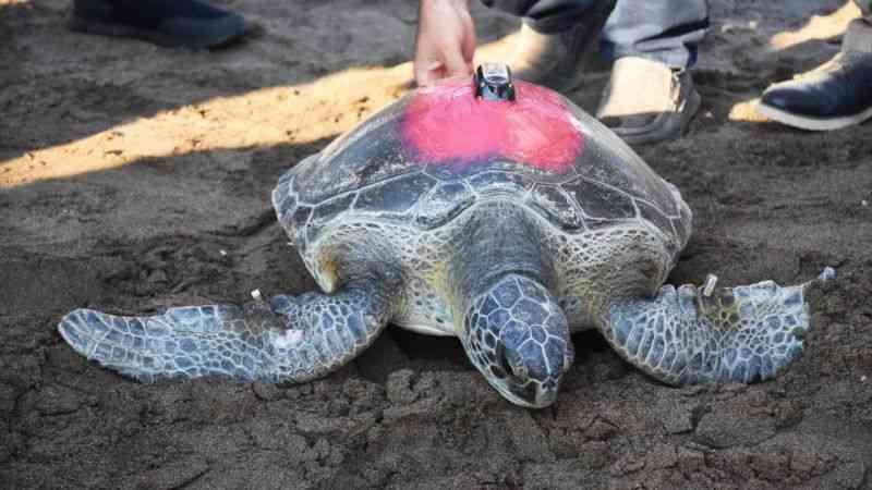"""Uydudan izlenen yeşil deniz kaplumbağası """"Talay"""" 3 günde 30 kilometre yol aldı"""