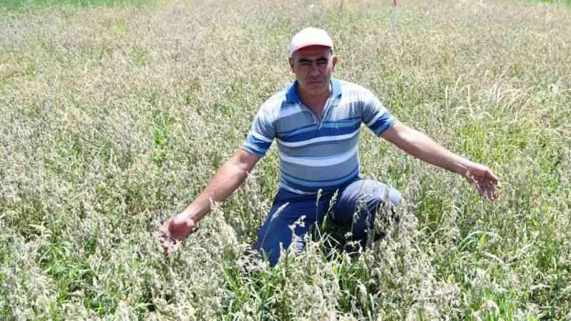 Manisa'da çiftçinin DSİ kanalından aldığı su tarlasını kuruttu