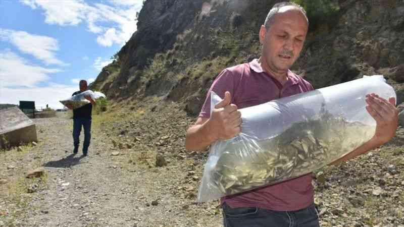 Sinop'ta baraj ve göletlere 100 bin sazan yavrusu bırakıldı