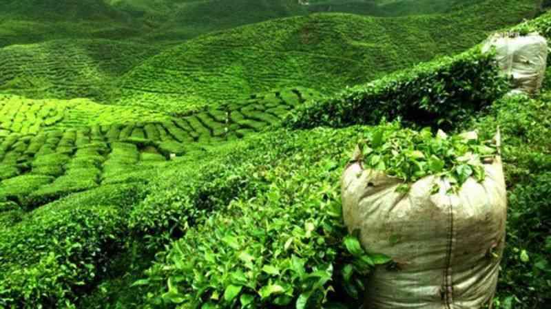 CHP, Çay Kanunu Teklifi hazırladı