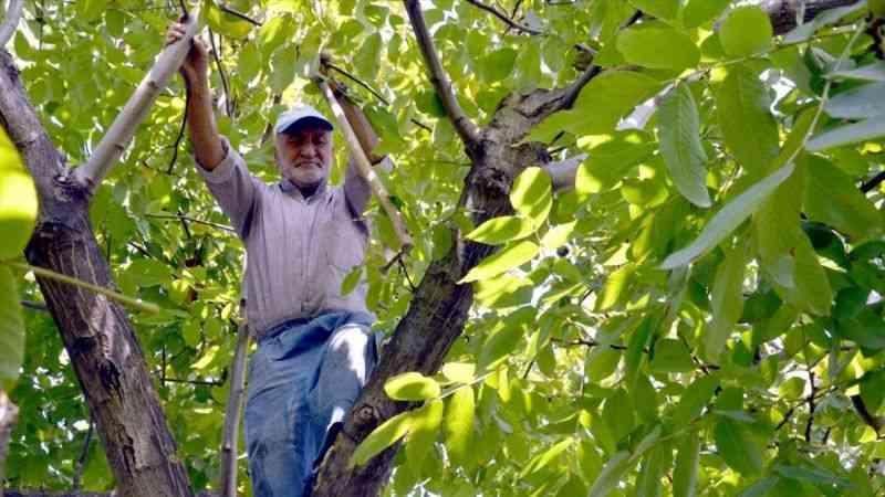 """Kocaeli'de bahçesinde yetiştirdiği cevizleri kendi toplayan """"Halit dede"""" örnek oluyor"""