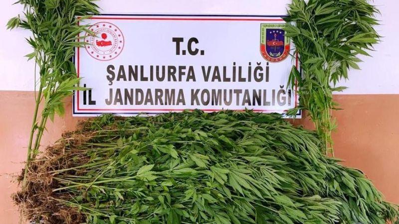 Şanlıurfa'da 2 bin 367 kök kenevir ele geçirildi