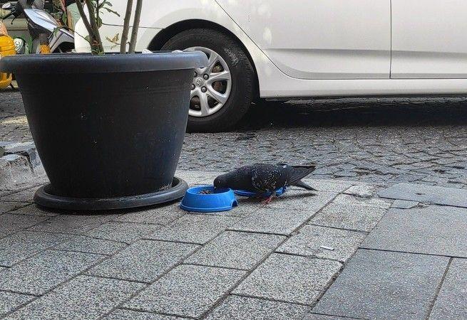 Kedi maması yiyen güvercin görenleri şaşırttı
