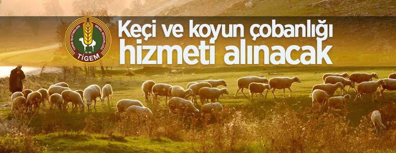 TİGEM keçi ve koyun çobanlığı hizmeti alacak