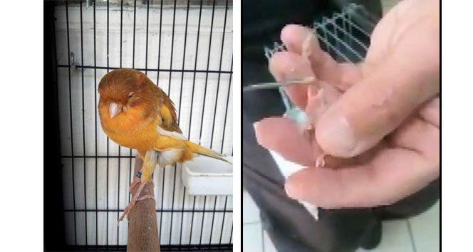 Yavru kuşları şırınga ile besliyor