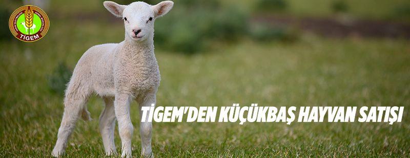 TİGEM'den reforme kuzu satışı