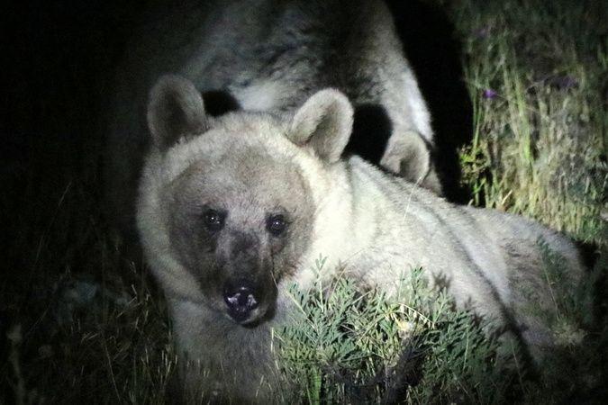 Nemrut'un ayıları gece görüntülendi