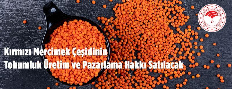 Kırmızı mercimek çeşidinin tohumluk üretim pazarlama hakkı satılacak