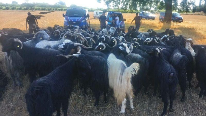 Jandarma kaybolan keçileri drone ile buldu