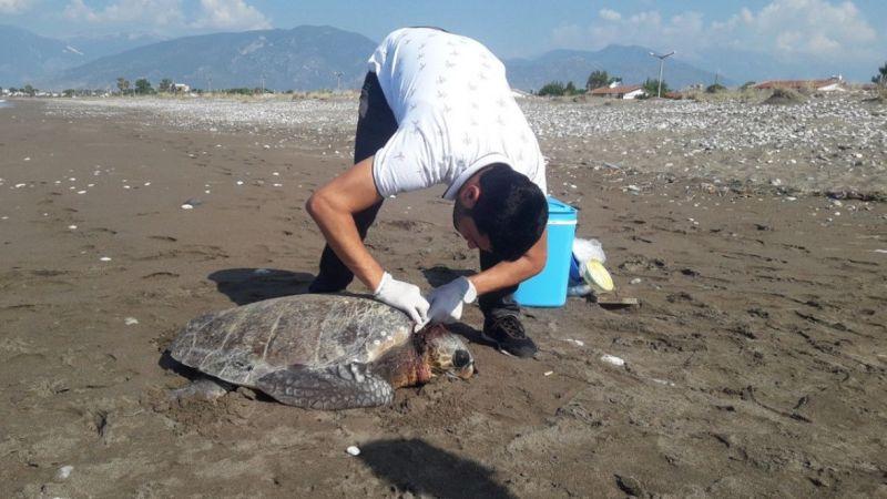 Yaralı kaplumbağa tedavisine rağmen telef oldu