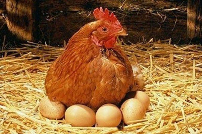 Tavuk eti üretimi nisan ayında yüzde 1,4 arttı
