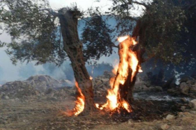 Siyonist işgalciler Filistinlilerin geçim kaynağı zeytin ağaçlarını yaktı