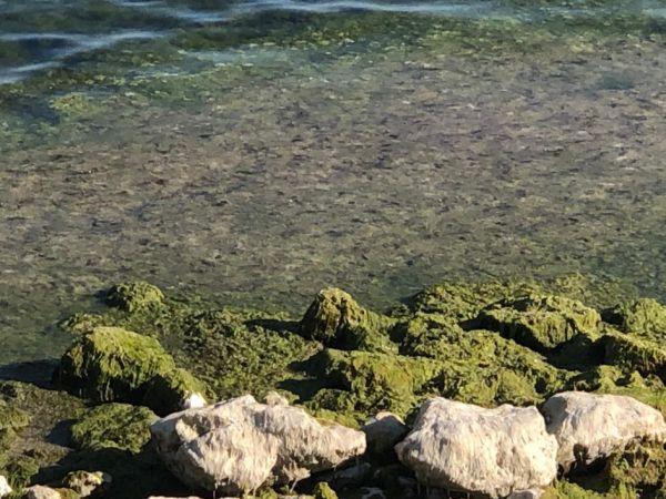 Beyşehir Gölü'nde alg patlaması; suyun rengi yeşile döndü