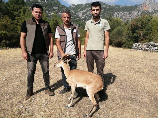 Hasta yaban keçisi, tedaviye alındı