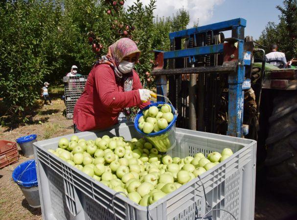 Eğirdir'de elma hasadı başladı
