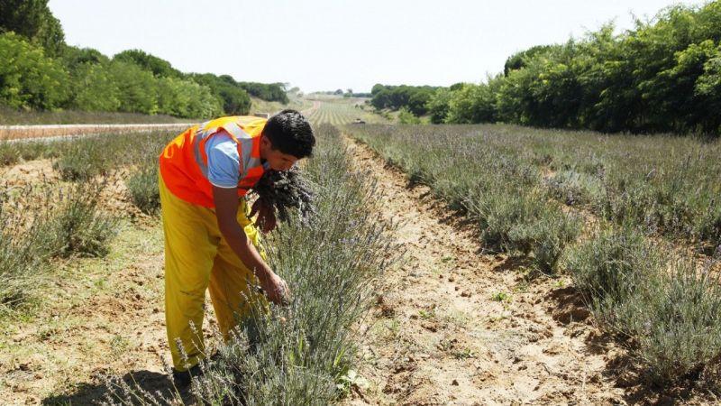 Sakarya'da bitkilerin hasadı yapılıyor