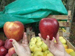 Bu elmalar büyük ilgi görüyor