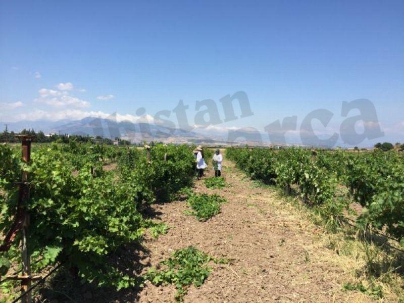 Köy köy gezip üzüm çeşitlerini korumaya aldılar