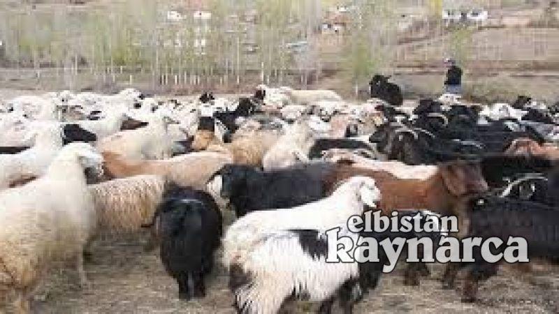 Elbistan'da 35 bin hayvana 894 bin TL destek verilecek