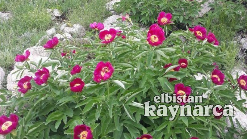 Elbistan'da açan 'ayı gülleri' görsel şölen sunuyor