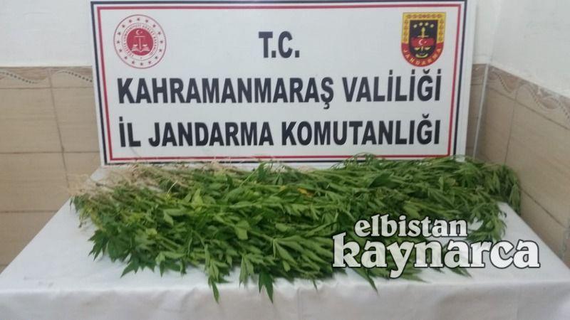 Jandarma, mısır tarlasında 105 kök kenevir ele geçirdi