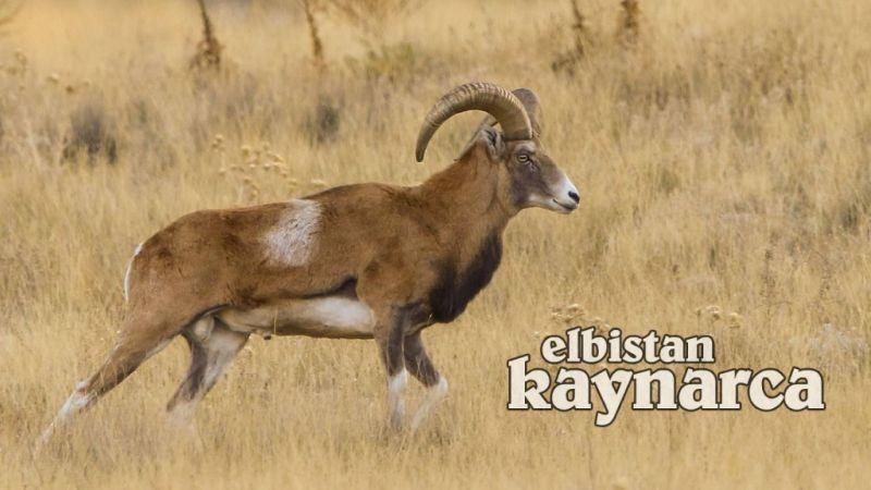 Yaban koyunu ve keçisini vuranlara dudak uçuklatacak ceza