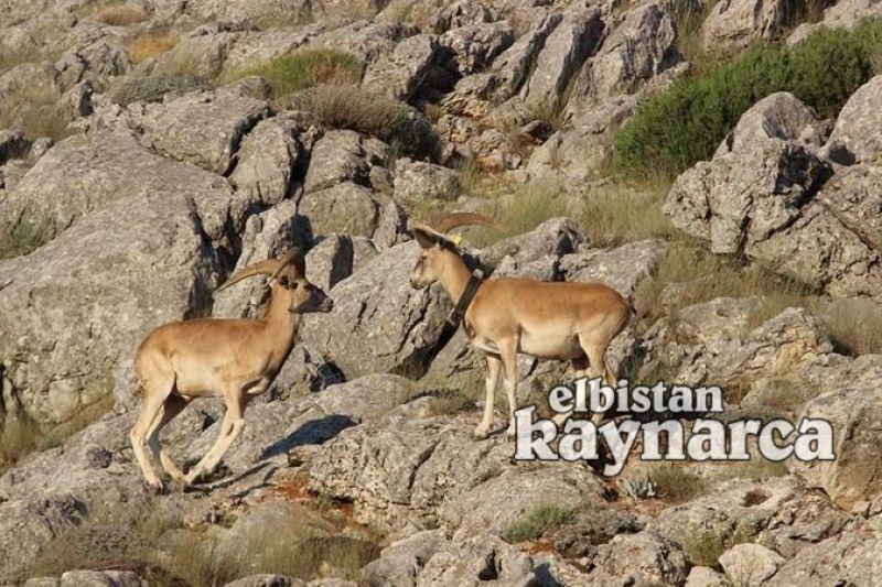 Anadolu yaban koyunlarının ilk yavruları dünyaya merhaba dedi