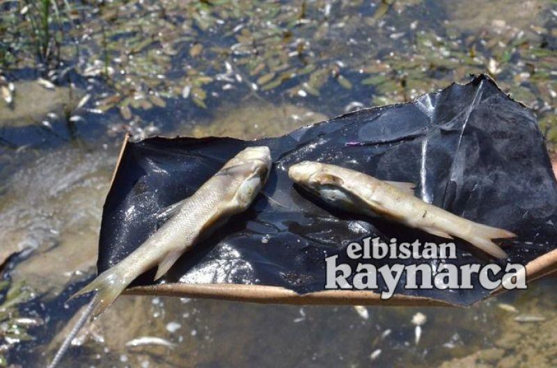 Söğütlü'deki balık ölümleri korkutuyor