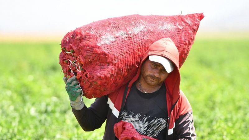 Coğrafi işaret tescilli Maraş biberinde hasat zamanı